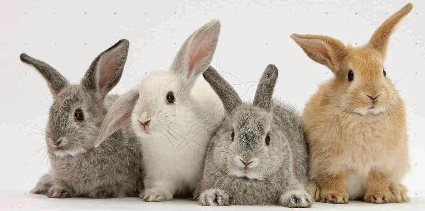 فوائد لحم الأرنب الفريدة